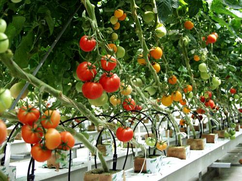 Với đặc thù thời tiết khá khắc nhiệt bà con nên chọn giống cây trồng phù hợp để cây phát triển tốt