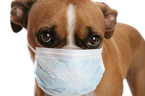 Triệu chứng và cách điều trị bệnh ho cũi chó