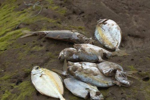 Cá chết bất thường vẫn chưa rõ nguyên nhân