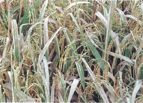 Các loại sâu bệnh hại lúa thường gặp và cách phòng trừ - bệnh bạc lá