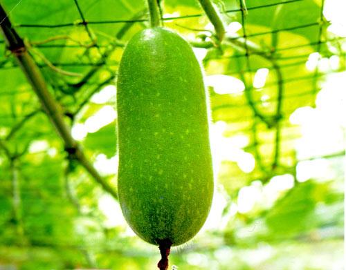 Cách trồng và chăm sóc bí đao trái vụ cho nhiều quả