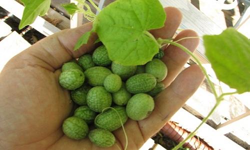 Hướng dẫn cách trồng dưa hấu tí hon tại nhà