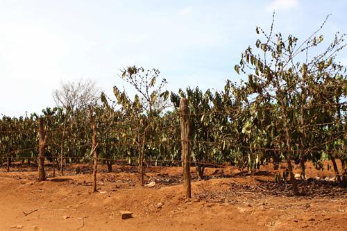 Hạn hán ảnh hưởng đến sản lượng cà phê ca cao