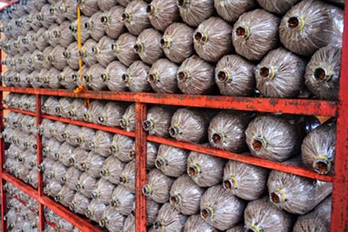 Kỹ thuật trồng nấm rơm bằng mùn cưa -1
