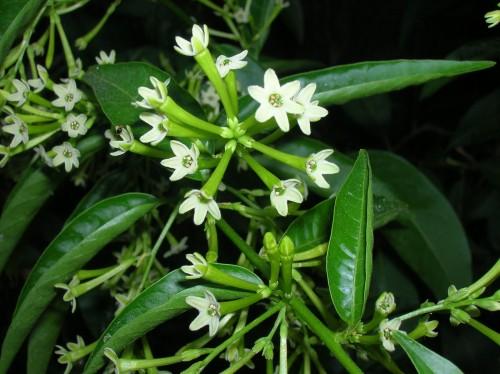 6 loại cây nên trồng trong nhà để đuổi muỗi - hoa dạ hương