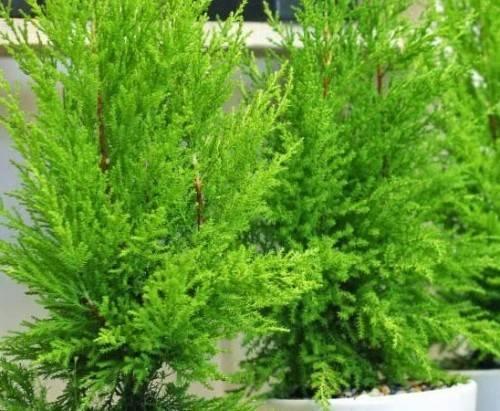 6 loại cây nên trồng trong nhà để đuổi muỗi 4