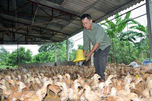 Lo ngại loạn giá khi gà Trung Quốc đổ bộ vào Việt Nam