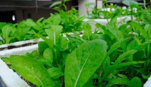 Cách trồng rau cải xanh đúng kỹ thuật - 3