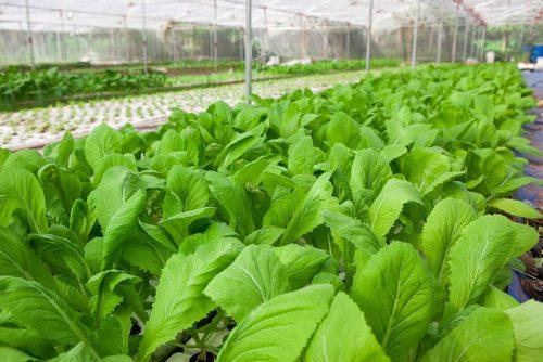 Cách trồng rau cải xanh đúng kỹ thuật