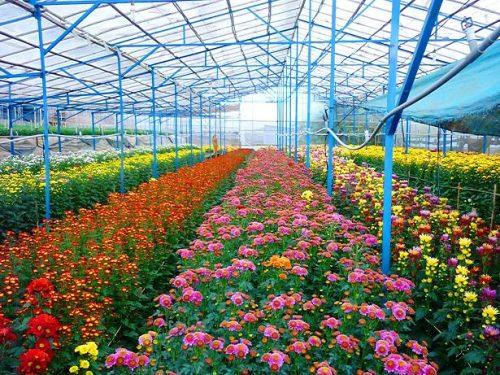 Kiếm tiền tỉ nhờ trồng hoa công nghệ cao
