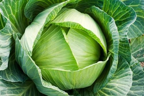 Bắp cải cũng là cây được trồng khá nhiều vào vụ đông