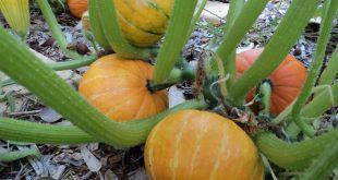 Thay vì phải mua những trái bí không rõ nguồn gốc thì bạn có thể trồng ngay hôm nay