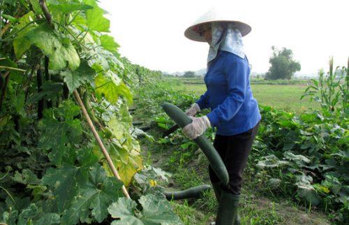 Bí xanh là cây trồng chủ lực trong vụ đông của nước ta