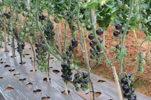 loại rau quả kỳ lạ chỉ có ở đà lạt