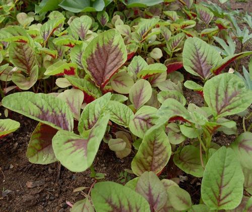 Cách trồng rau dền - 1
