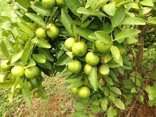Chanh đào nhiều năm liền được bà con nông dân chọn làm cây kinh tế