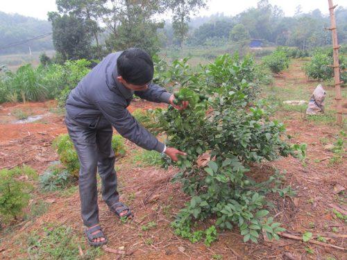 Chanh đào thích hợp trồng ở vùng đất đồi và đất đỏ