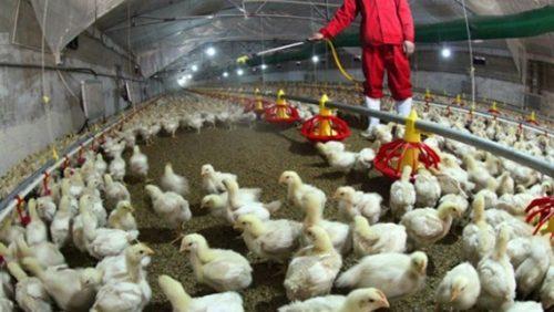 Việc sử dụng kháng sinh trong chăn nuôi mang đến nhiều hiểm họa tiềm ẩn