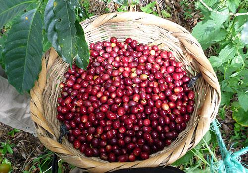 Giá cà phê vượt mốc 33.000 đồng/kg