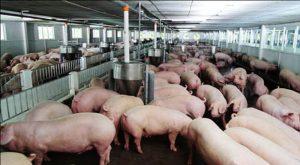Vấn đề ngành chăn nuôi của Việt Nam đang tồn tại nhiều bất cập
