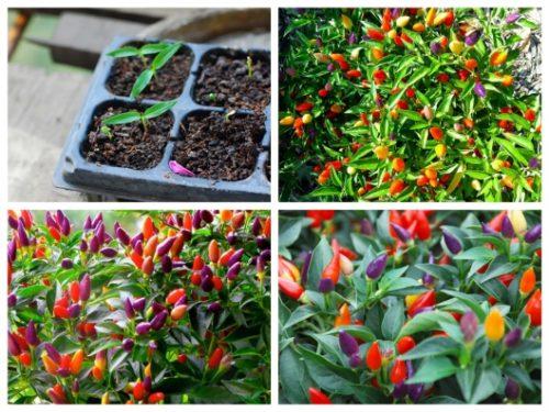 Kỹ thuật trồng ớt ngũ sắc đơn giản tại nhà
