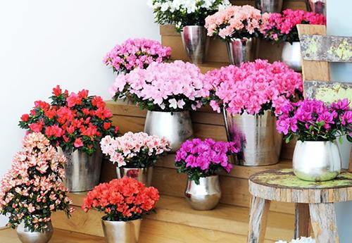 Có rất nhiều giống hoa đỗ quyên khác nhau