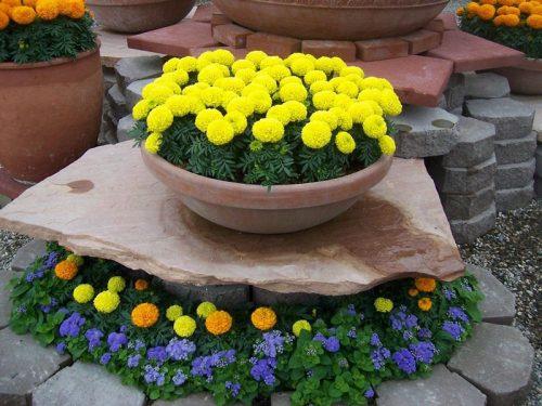 Hoa vạn thọ là cây trồng ưa ẩm