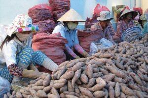 Không ít mùa vụ nông dân ở Vĩnh Long phải bỏ ruộng vì trồng khoai thua lỗ