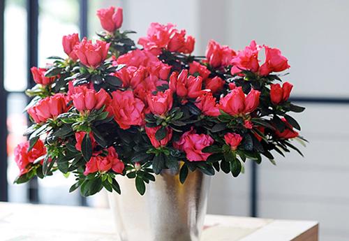 Hoa nở đẹp khi được trồng và chăm sóc đúng kỹ thuật