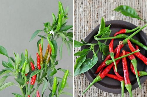 Kỹ thuật làm luống trồng ớt đạt năng suất cao
