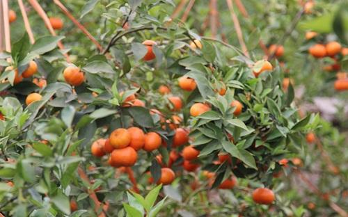 kỹ thuật trồng và chăm sóc cây cam đường canh ra quả sai