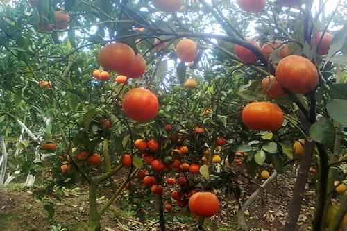 kỹ thuật trồng và chăm sóc cây cam đường canh ra quả sai 2