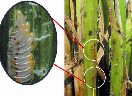 Khi lúa bị sâu bệnh sẽ ảnh hưởng lớn đến chất lượng cây trồng