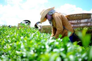 Việt Nam là quốc gia xuất khẩu chè đứng thứ 5 thế giới