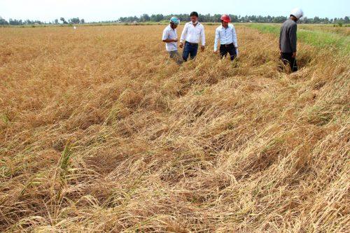 Nông nghiệp tăng trưởng âm vì hạn hán và xâm nhập mặn