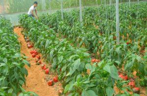 Mô hình phân luống trồng ớt