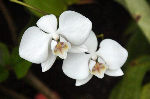 Phong lan là loài hoa quen thuộc dịp Tết nguyên đán