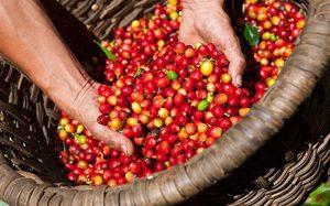 Khối lượng giao cà phê dịch tăng lên rất cao trong năm 2018