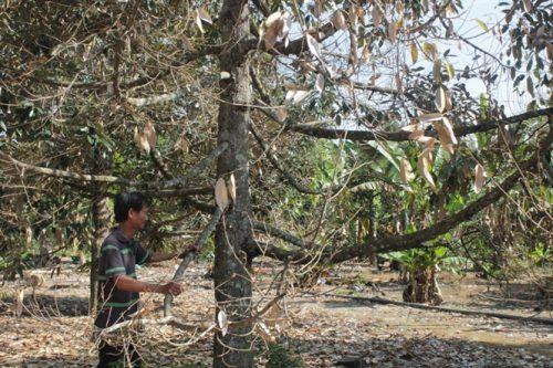 Nấm Phytophthora gây bệnh hại cho cây sầu riêng