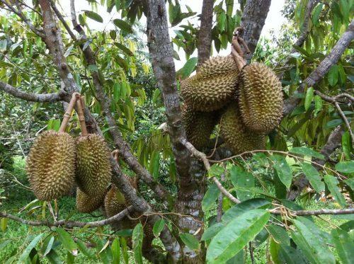 Áp dụng quy trình phòng bệnh nấm đem lại hiệu quả năng suất cao cho cây sầu riêng