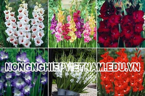 Bí quyết thâm canh cây hoa lay ơn ra hoa 100%