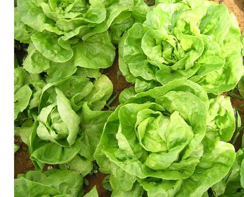 Trồng xà lách vụ đồng sẽ có chất lượng rau tốt và ngon hơn