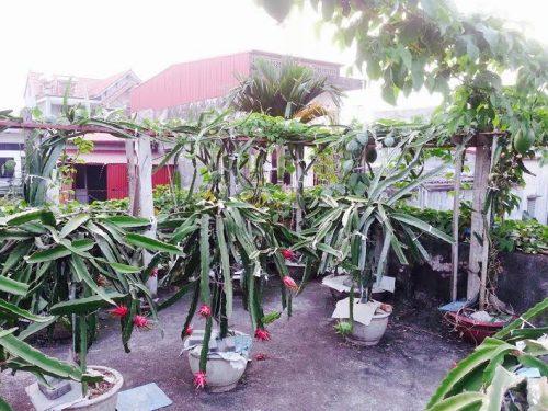 Thay vì phải mua những trái thanh long trôi nổi thì giờ bạn có thể trồng loại cây này tại nhà