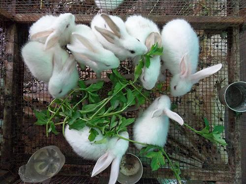 Kỹ thuật nuôi thỏ thịt