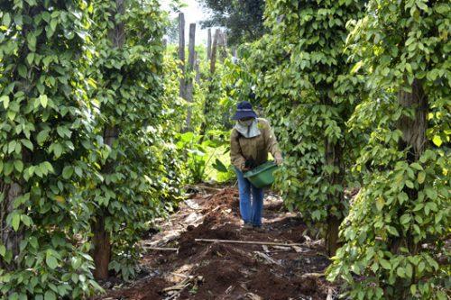 Áp dụng quy trình trồng và chăm sóc cây tiêu đem lại hiệu quả kinh tế cao