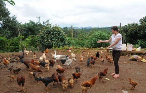 Cách nuôi gà mái đẻ giúp bà con nông dân hái ra tiền