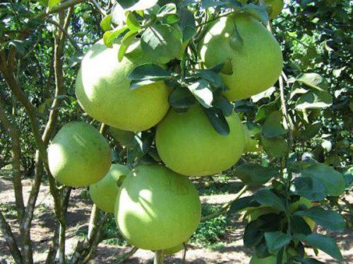 Trồng cây ăn quả gì có giá trị kinh tế cao - bưởi năm roi