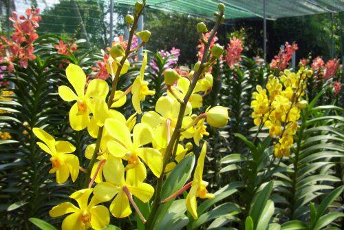 Kỹ thuật trồng hoa phong lan