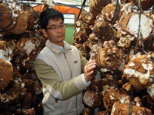 Trồng nấm trên thân gỗ cho năng xuất cao